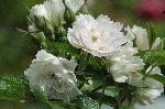 Wei�e Nelkenrose (`White Grootendorst`)