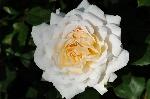 Crocus Rose (Emanuel)